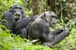 cooperación en chimpancés